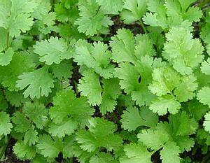 Кинза, листья