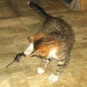 котик играет с мышкой