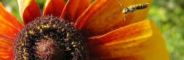Пчела над рудбекией