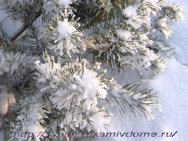 ветки сосны зимой.