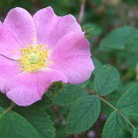 Роза иглистая.