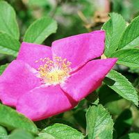 Шиповник майский (Роза коричная).