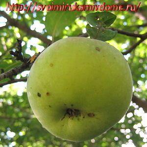 Яблоко на ветке спеет