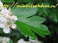 Лист боярышника весной