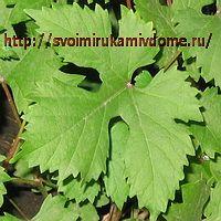 Лист винограда весной