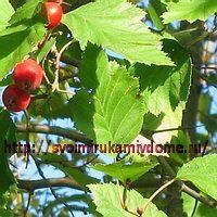 Листья боярышника красного
