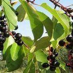 Листья черёмухи летом