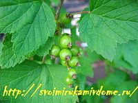 Листья чёрной смородины весной