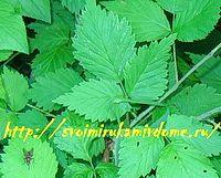 Лист ежевики летом