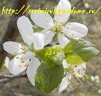 Листья и цветки сливы весной