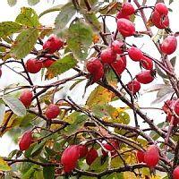 Шиповник с ягодами