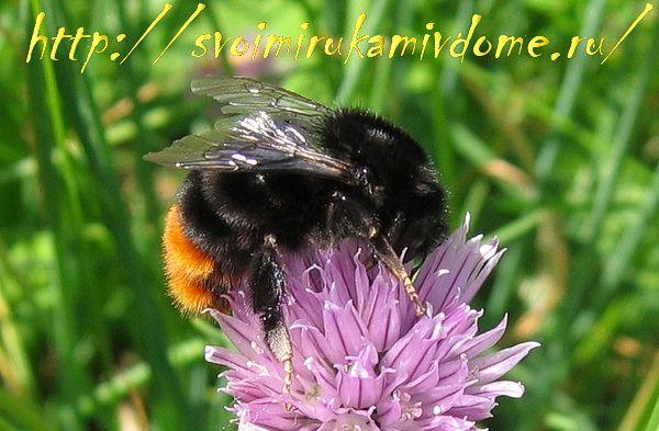 Шмель – насекомое полезное, фото