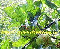 Ветка яблони летом