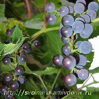 Виноград., чай из фруктов