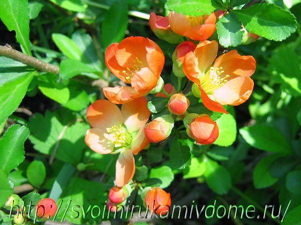 Айва цветёт