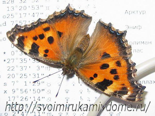 Крапивница бабочка