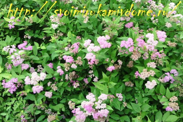 Цветущий куст спиреи японской