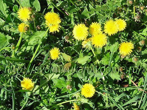 Одуванчики цветущие