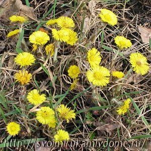 Цветы, мать-и-мачеха