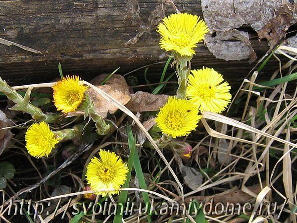 Цветки мать-и-мачехи