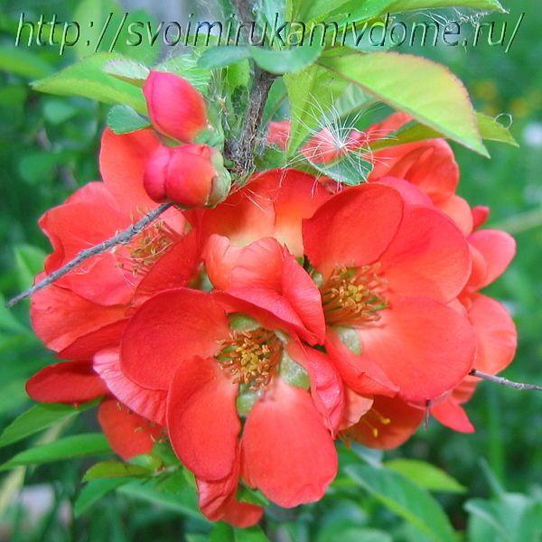 Цветки айвы японской