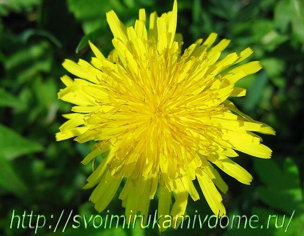 Цветочек одуванчика