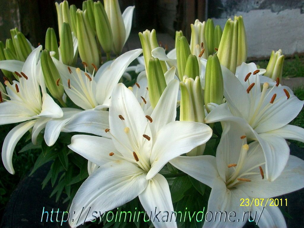Белые лилии и бутоны