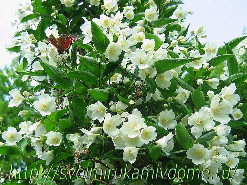 Бабочка на чубушнике