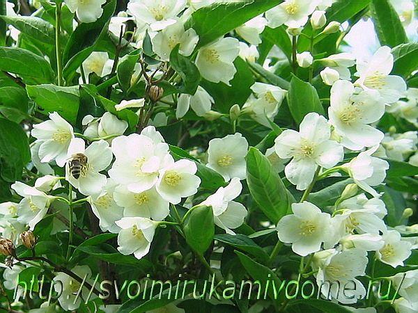 Пчёлка на чубушнике
