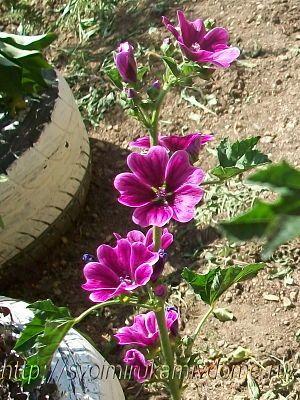 Цветки мальвы, Приморье