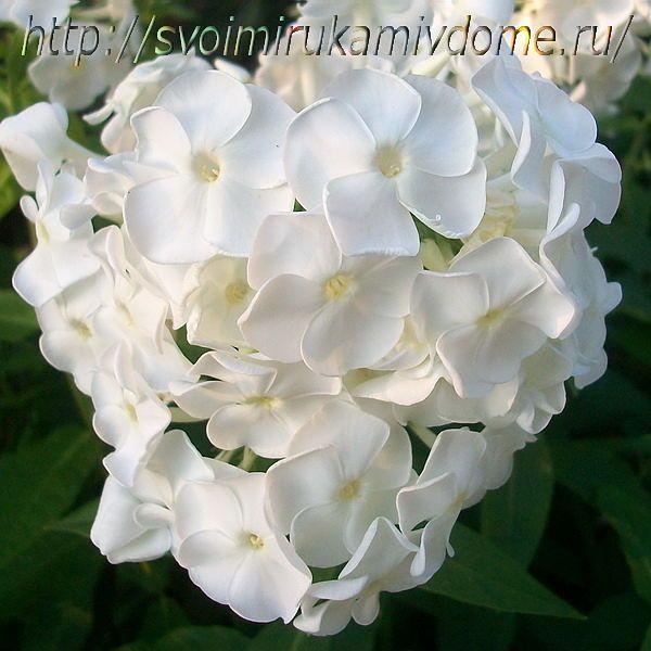 Цветки флокса белого