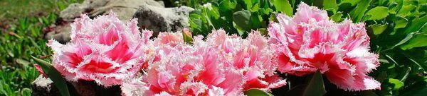 Тюльпаны Маскотт, миниатюра