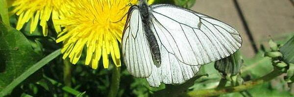 Цветы и бабочки боярышницы из Вологодской области