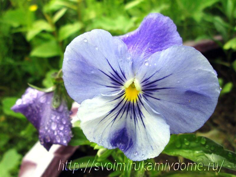 Голубая виола