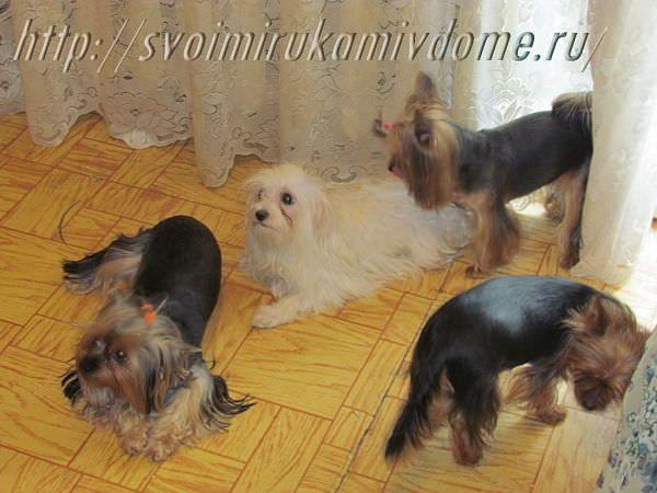 Четыре собачки