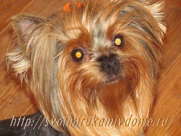 Портрет маленькой собачки