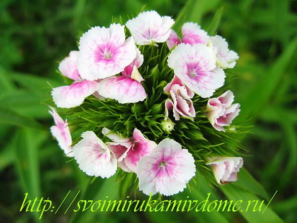 Белая с розовым гвоздика
