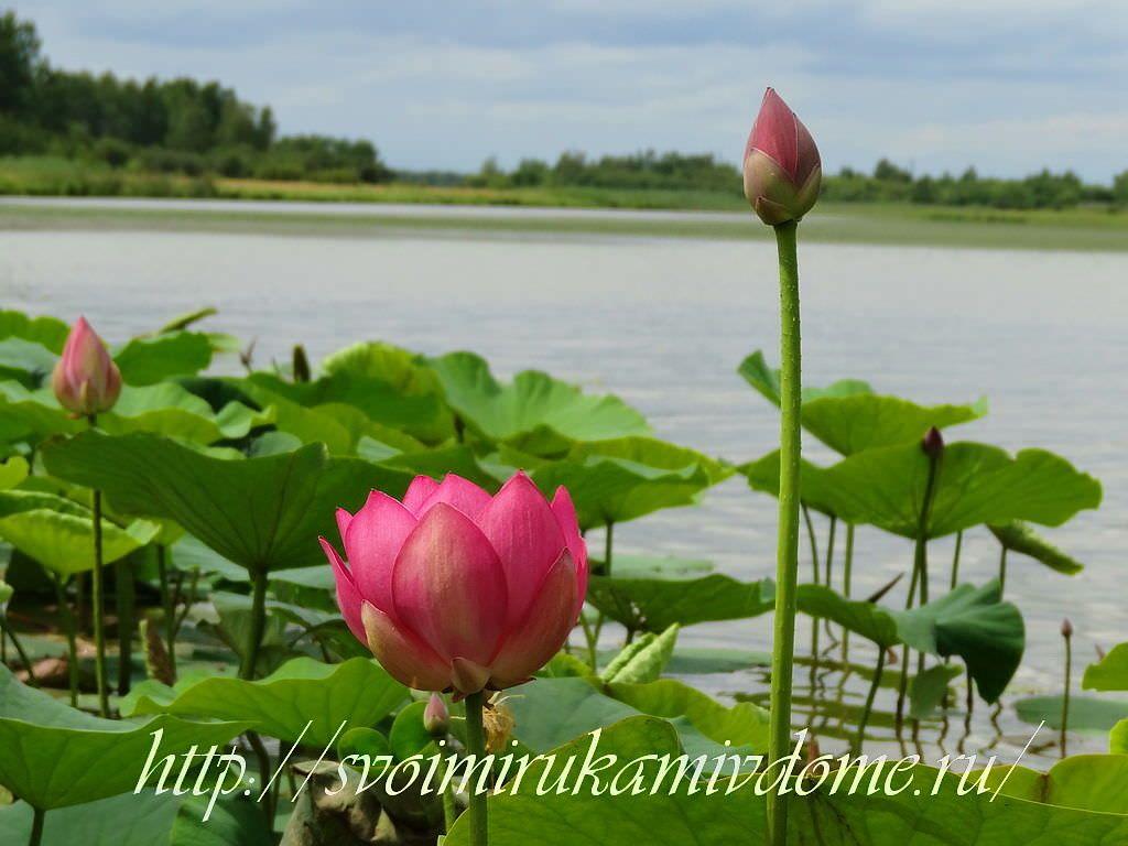 Бутоны и цветок лотоса на озере