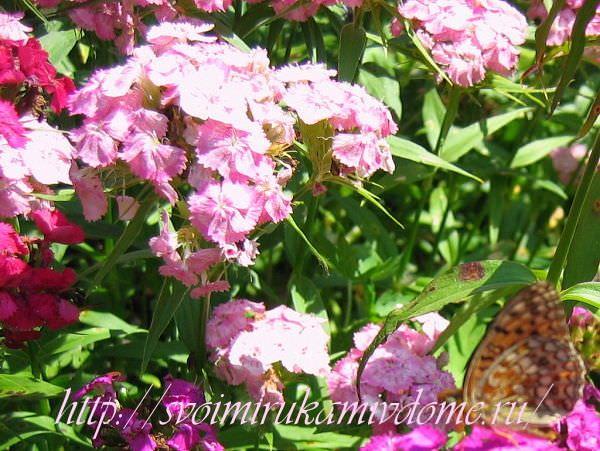 Гвоздика в цветнике