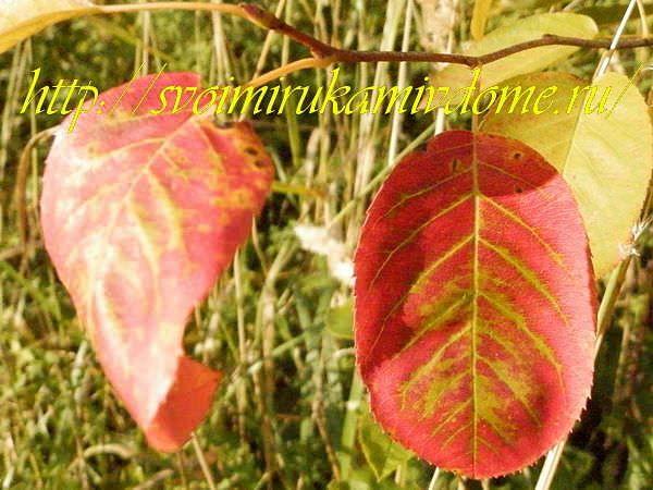Листья ирги, август