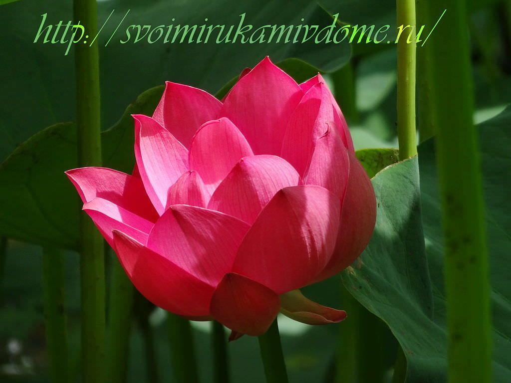 Лотос, цветок
