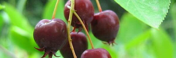 Спелые ягоды ирги, лето