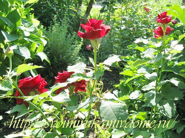 Алые розы в саду