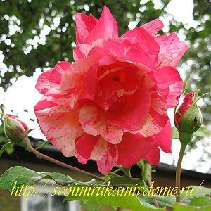 Пёстрая роза с бутонами в саду