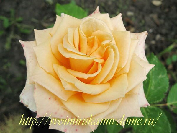 Роза персикового цвета