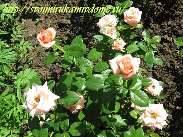 Розы кремовые