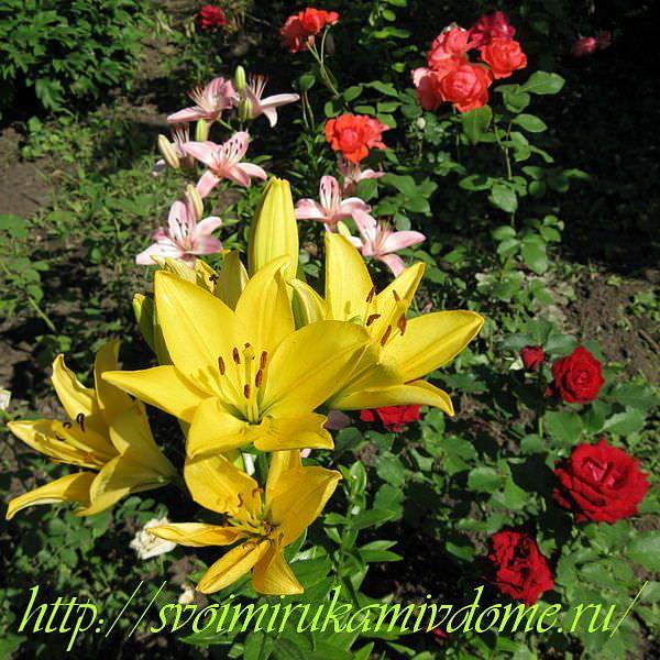 Цветник с лилиями и розами