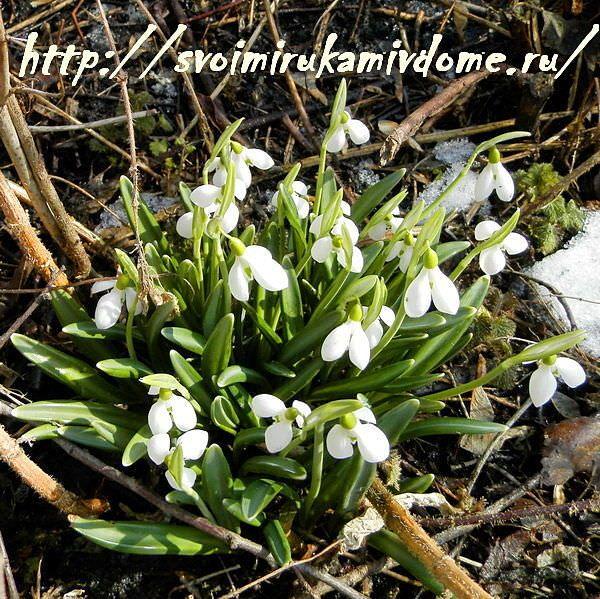 Подснежники Galanthus nivalis, фото