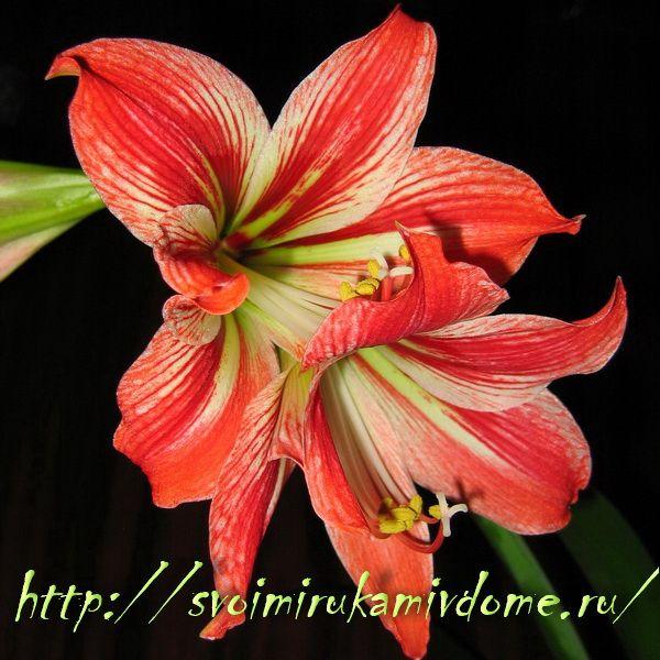 Гиппеаструм цветёт, фото