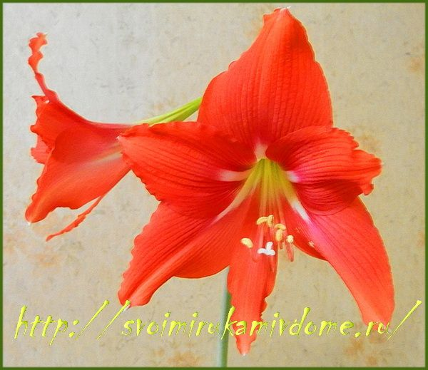 Гиппеаструм цветок в рамке